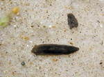 Dugesia gonocephala